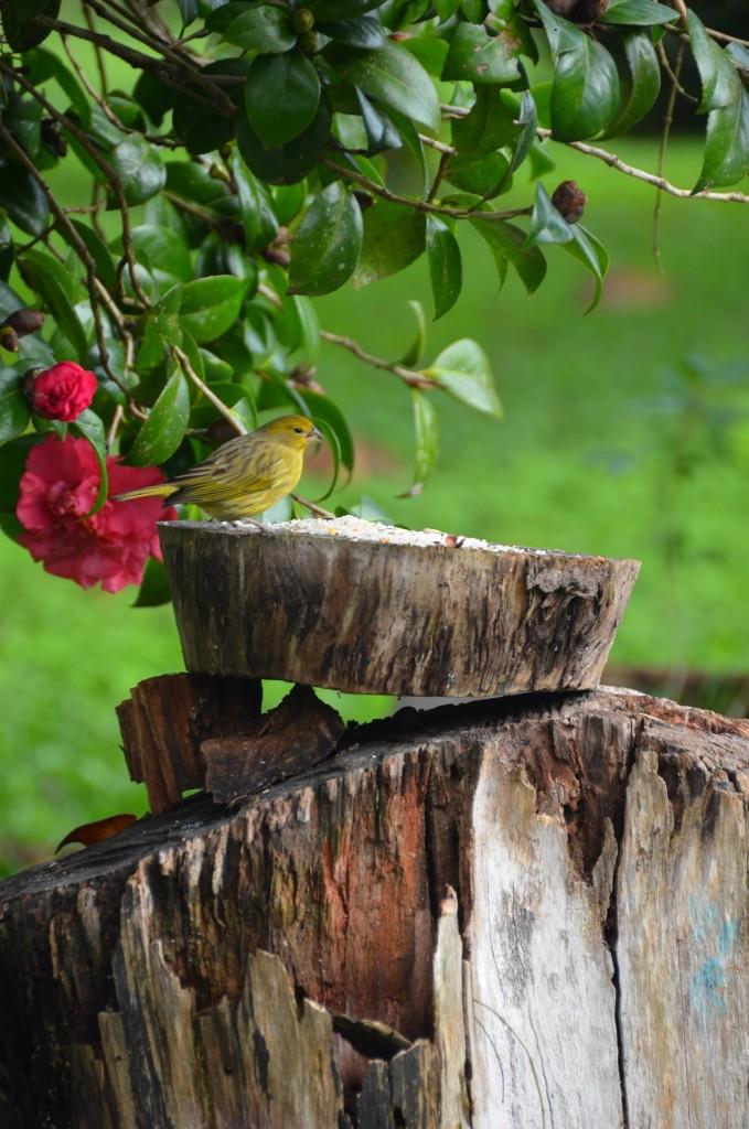 pássaro amarelo comendo flor rosa camélia