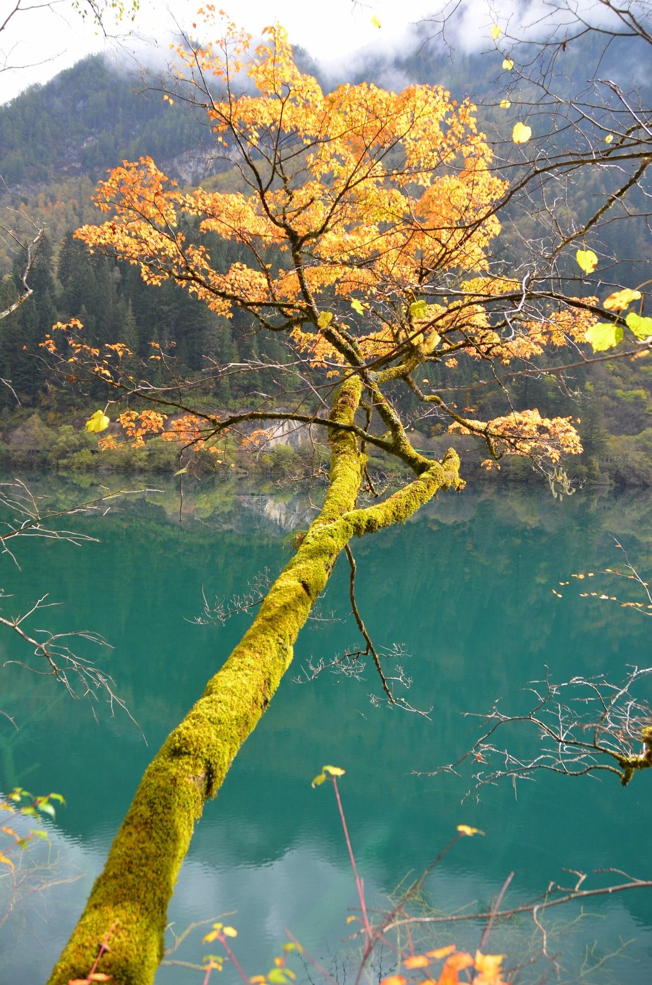 jiuzhaigou tronco amarelo lago azul verde