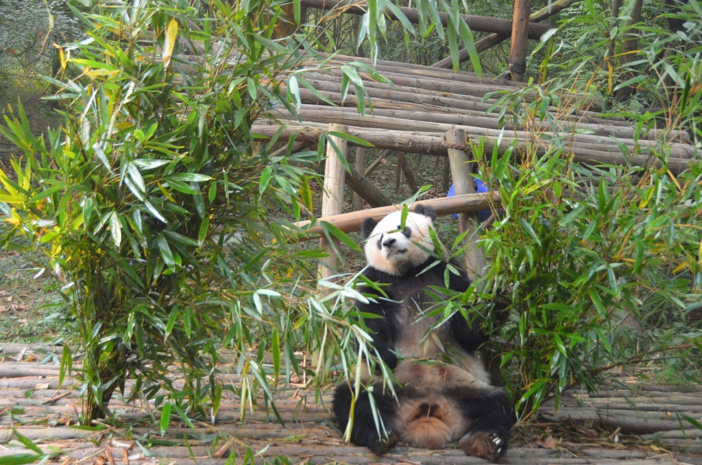 Panda gigante em Chengdu