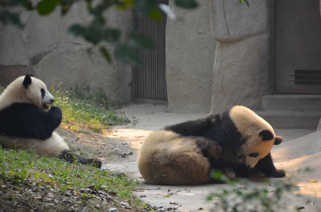 panda gigante chendgu brincando