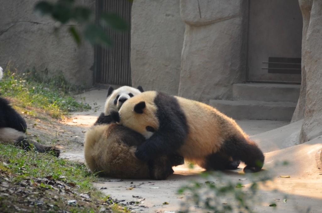 panda jovem brincando chengdu