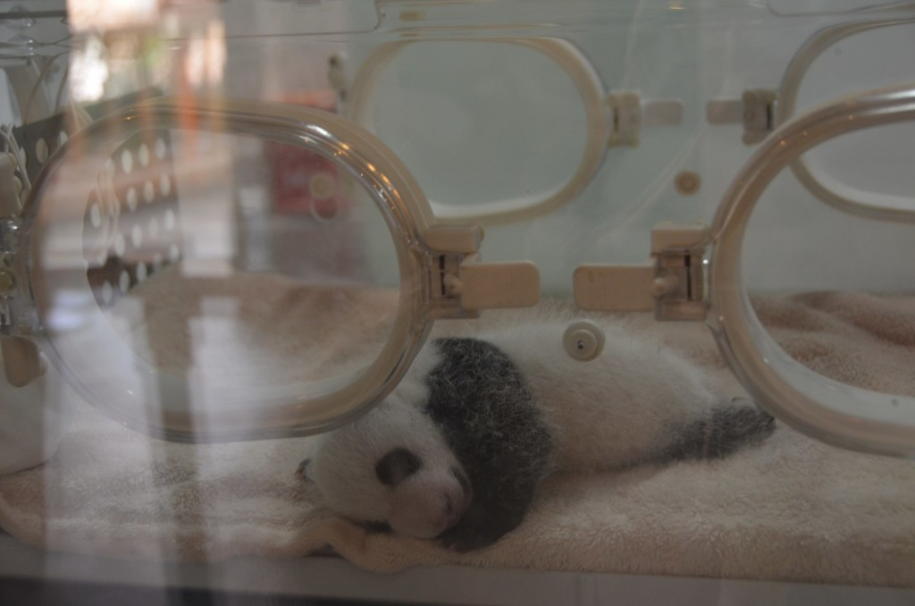 panda gigante, chengdu, panda pequeno