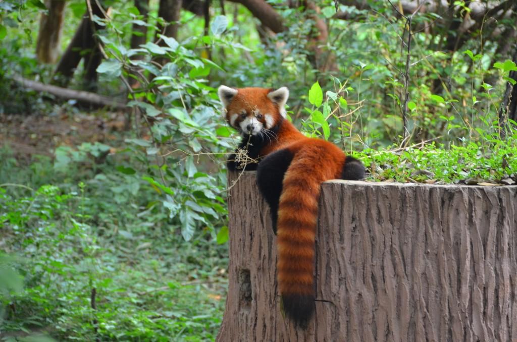 panda vermelho chengdu
