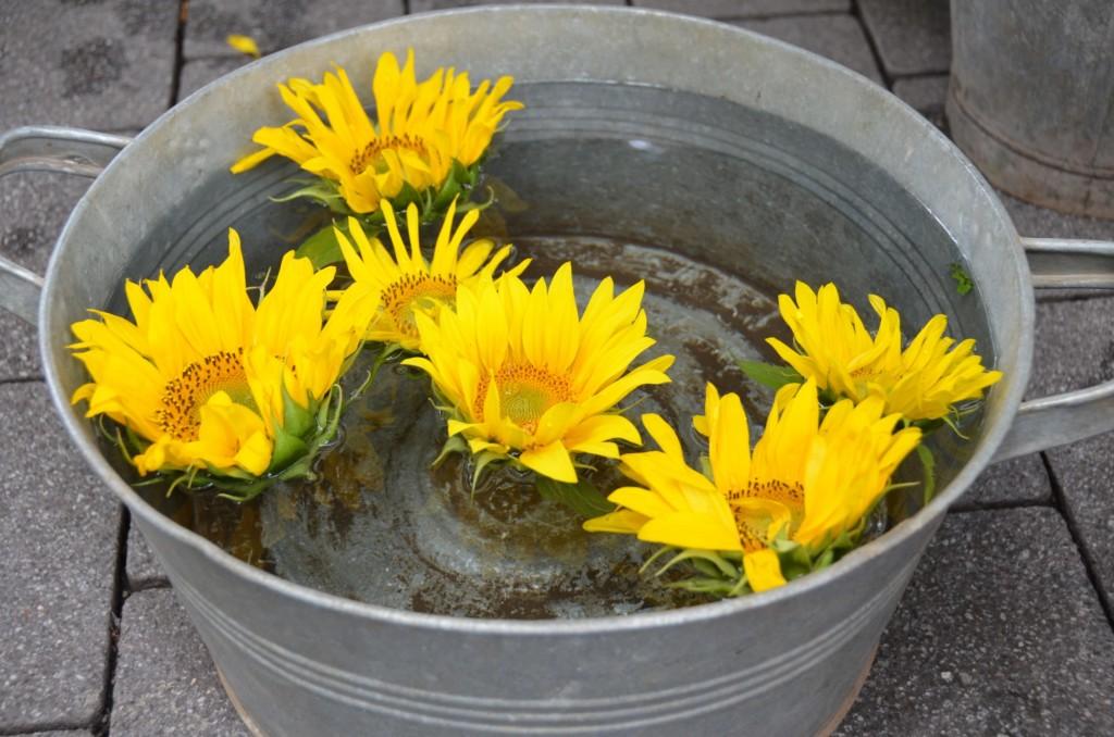 girassol balde água amarelo flor boiando