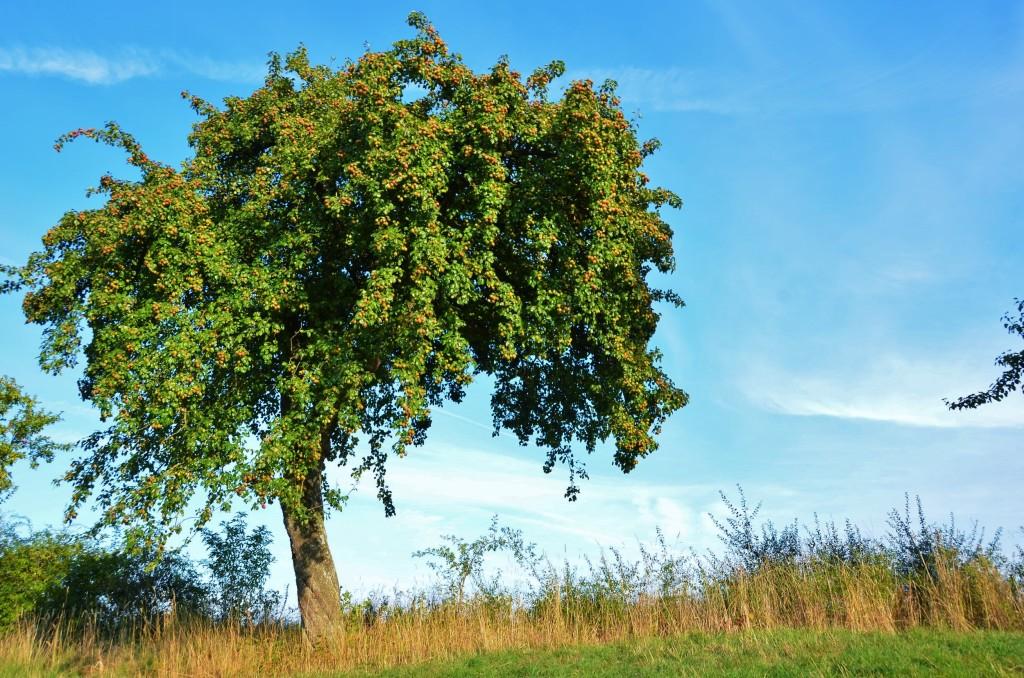 maciera, maçã, frutas, árvore, céu azul, mito da zona de conforto